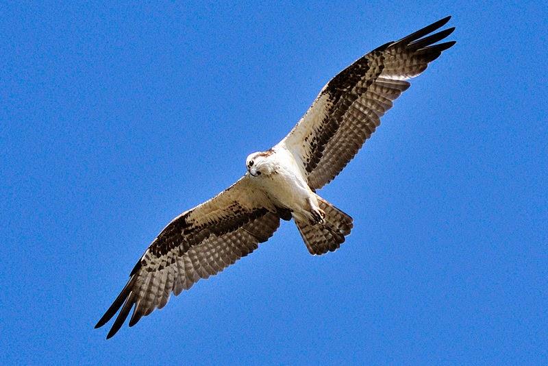 Tanjung Tuan Osprey