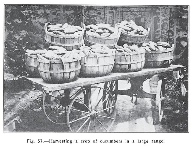 Forcing Winter Vegetables
