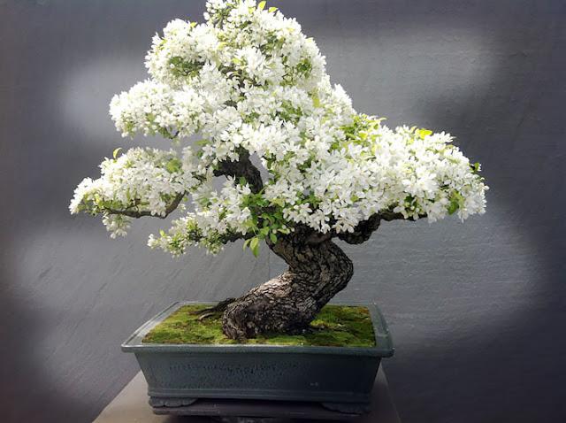 cuanto cuesta un bonsai mayogi