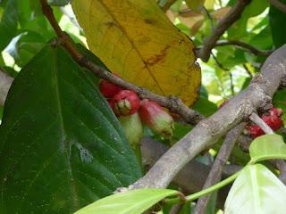 Syzygium malaccense - Jambosier rouge - Jambose