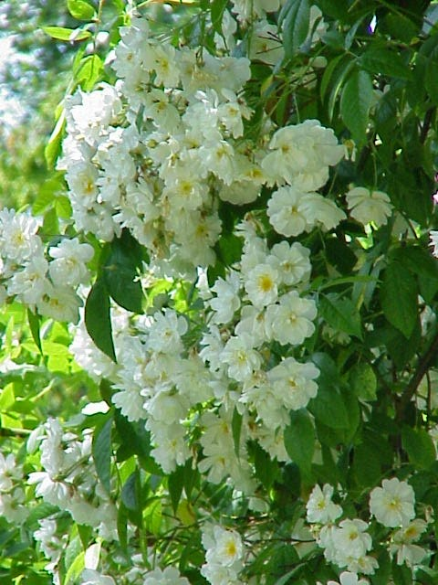 Tips on growing white Rambling-climbing rose Bobbie james