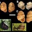 Update on the status of the remaining Hawaiian land snail species Part 3: Pupillidae and Succineidae