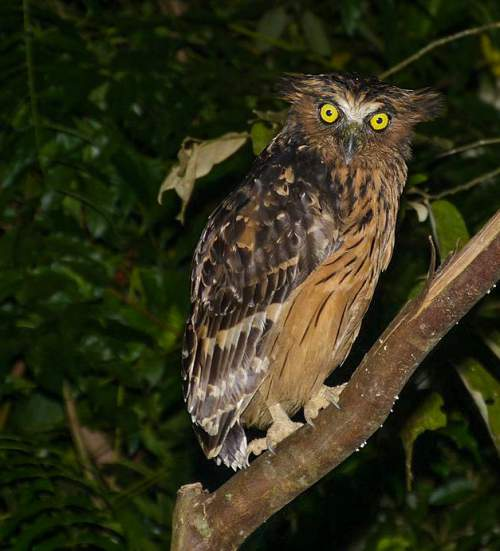 Indian birds - Image of Buffy fish owl - Ketupa ketupu
