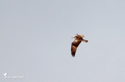 Águila pescadora (Pandion haliaetus) cerca de uno de los observatorios. Blue Nature
