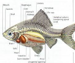Anatomi Ikan Gurame