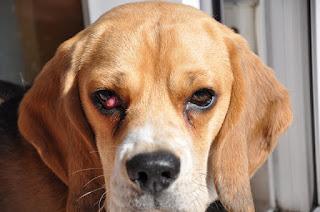 Antes de discutir el tratamiento de ojo de cereza en su perro Beagle, primero vamos a definir lo que es Eye Cherry o ojo de cereza