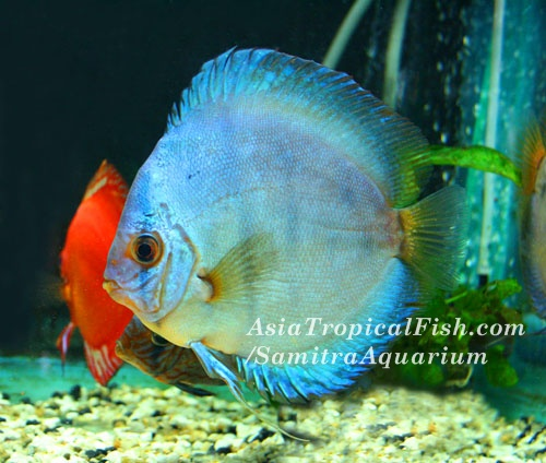discus fish store stendker discus from discus hans 2017