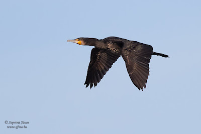 Nagy kárókatona - Great Cormorant - Kormoran - Phalacrocorax carbo