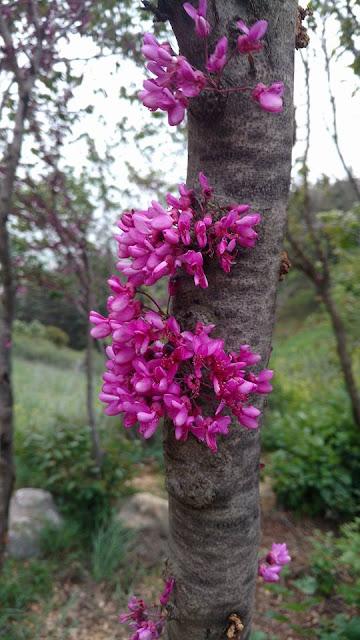 פריחה וורודה - צוק מנרה