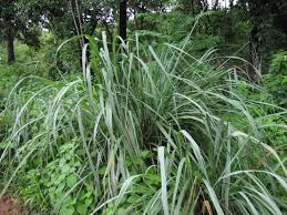 bunch of lemon grass in the field