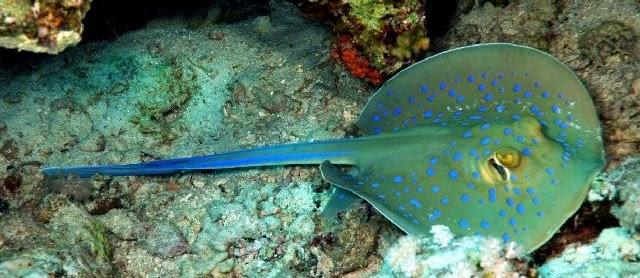 Gambar Ikan Pari dari Jenis Terbaik Beserta Nama Latin dan Inggrisnya