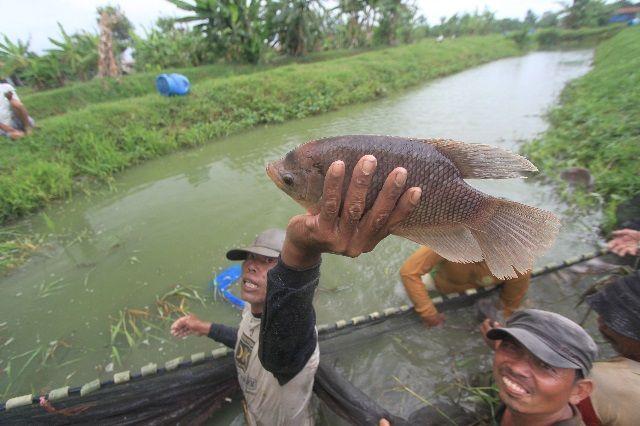 Budidaya Ikan Gurame