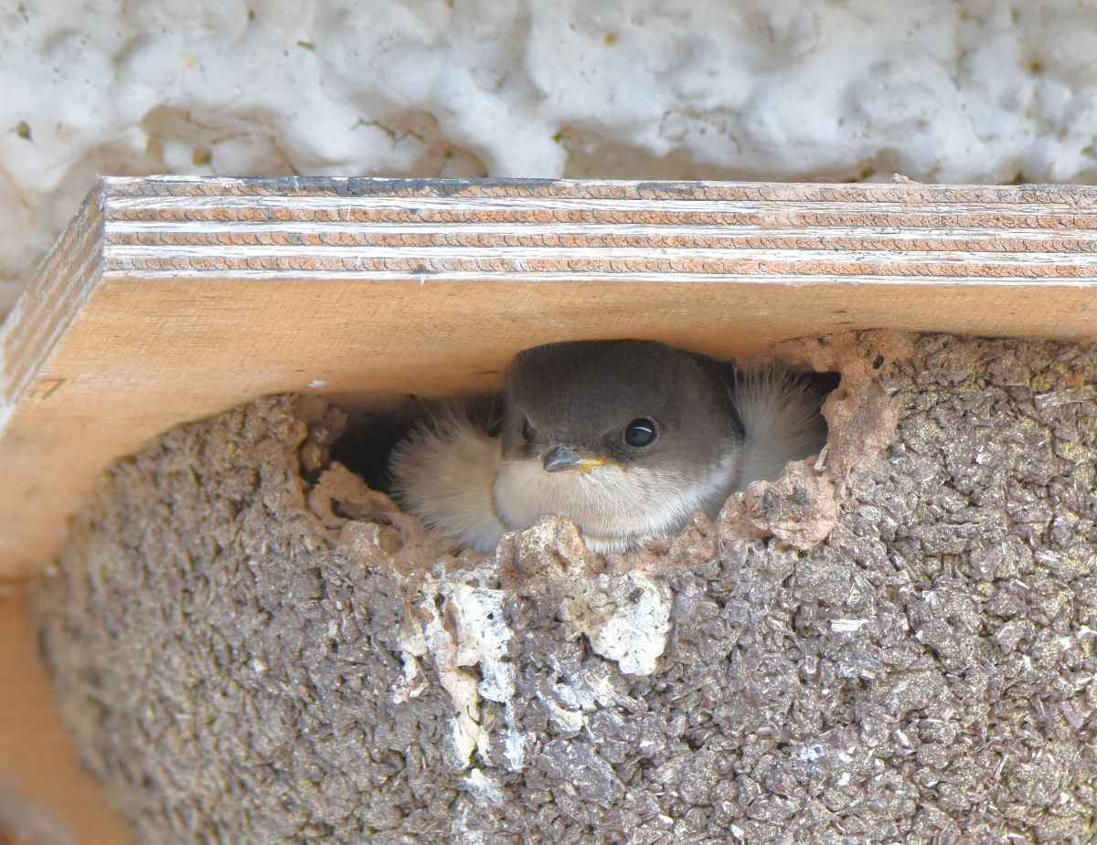 Aberbrothock House Martins And Their Nests And Weird Scoter