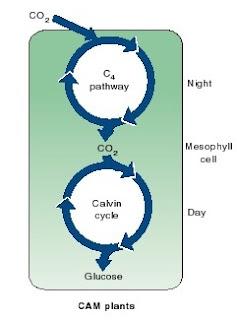 cam. tanaman CAM, fiksasi nkarbon pada tanaman CAM, fotosintesis pada tanaman CAM