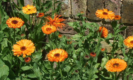 A bad witch's blog: Magical Herbs: Pot Marigolds in a