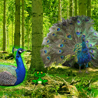Games2Rule Peafowl Forest…
