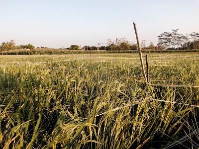 mengendalikan hama burung pada tanaman padi