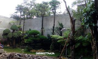 jual pohon peneduh tanaman pule atau lame