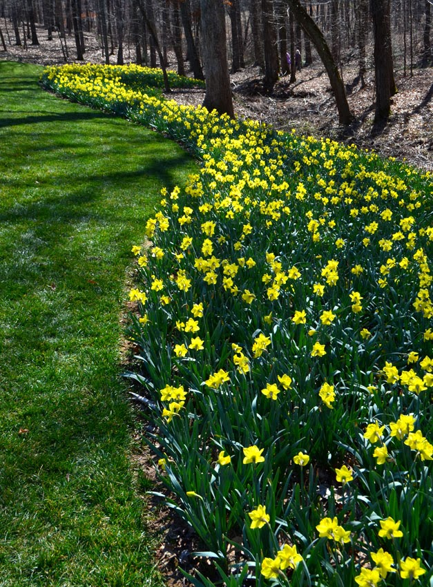 Daffodil Garden Design