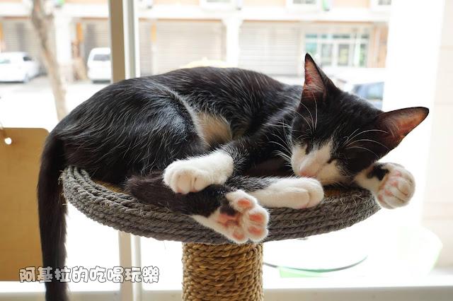 14556613 1099289056791005 5750086987712565708 o - 熱血採訪 朵貓貓咖啡館 - 貓咪餐廳