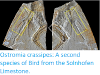 https://sciencythoughts.blogspot.com/2017/12/ostromia-crassipes-second-species-of.html