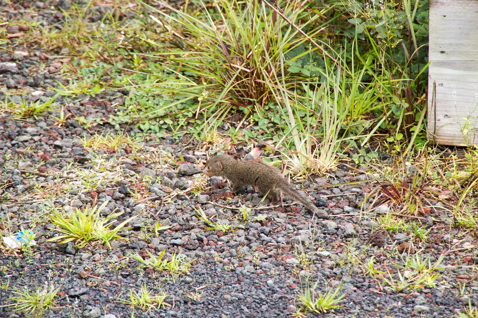 mongoose proliferation and control across hawaiian islands Didn't take long for the mongooses to take over mongooses  only the islands of  kauai and lanai have been spared the proliferation – so far.