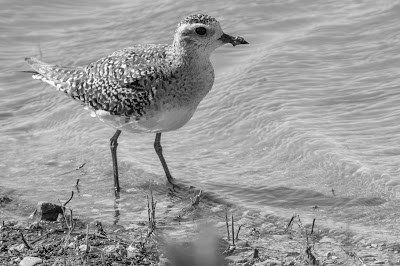 Black-bellied Plover, Hagerman NWR