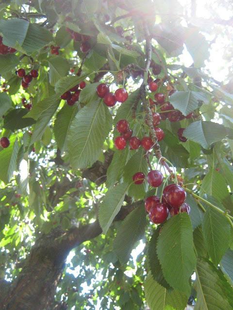 cseresznyefa ág tele érett piros cseresznyével