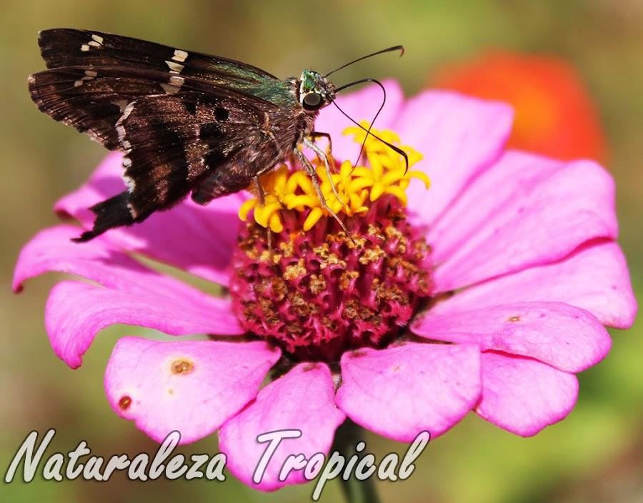 Polinización de una flor por un insecto (Mariposa), principio de la reproducción sexual