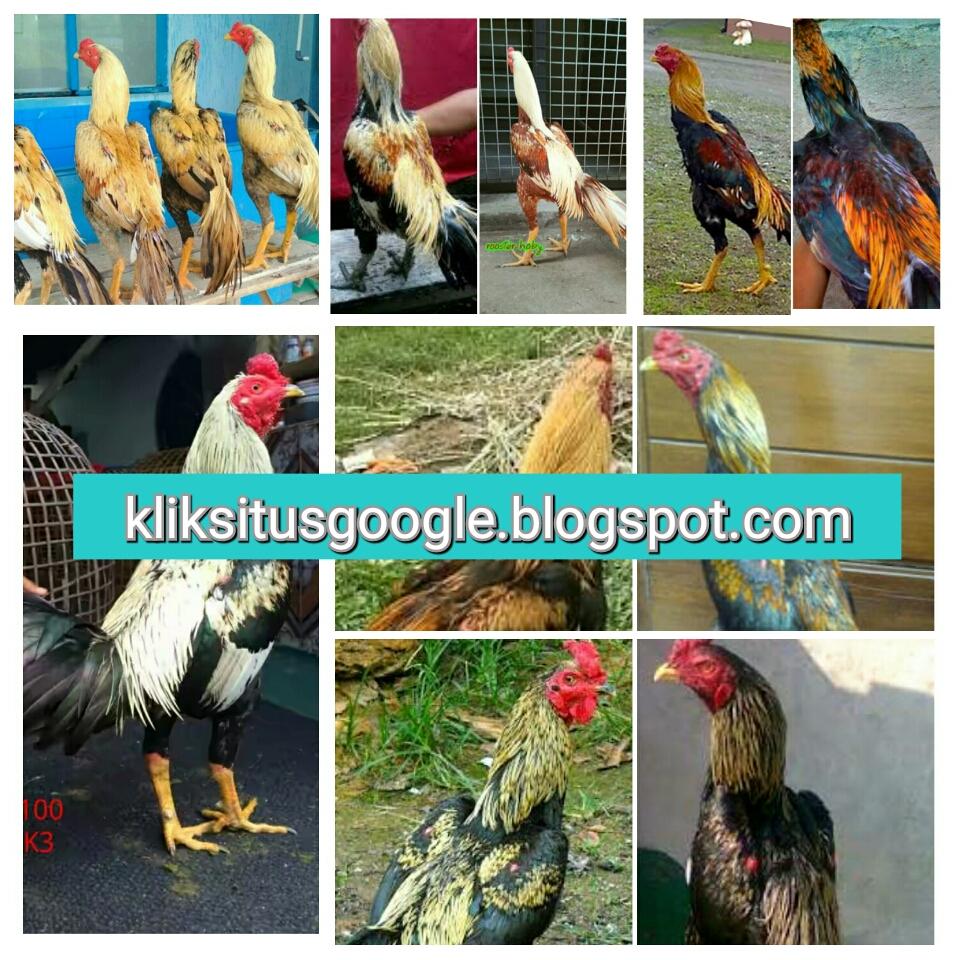 Ayam Bangkok Khas Bulu Jalak Wido Paling Populer Ayam