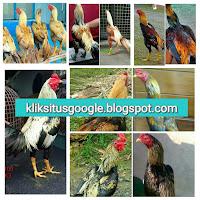 Ayam Bangkok Khas Bulu Jalak/Wido Paling Populer