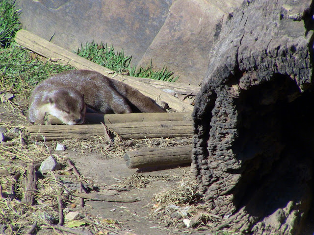 The Asian Small-clawed Otters are classified as vulnerable.  They are mostly brown with a white throat