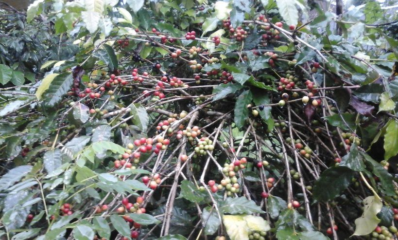 Coffee Plantations Tourist Destination - Coffee, Spices, Fruits, Plantations, Bali, Holidays, Sightseeing, Attractions