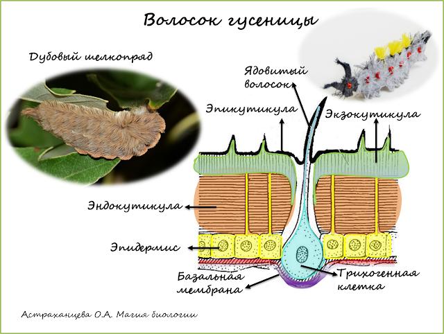 magija-biologii-palchikovyj-teatr--antichnaja-volnjanka-volosataja-gusenica-dubovyj-shelkoprjad-jadovityj-volosok