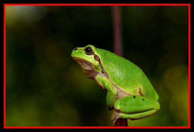 Hyla Meridionalis,The Frog,Amphibian