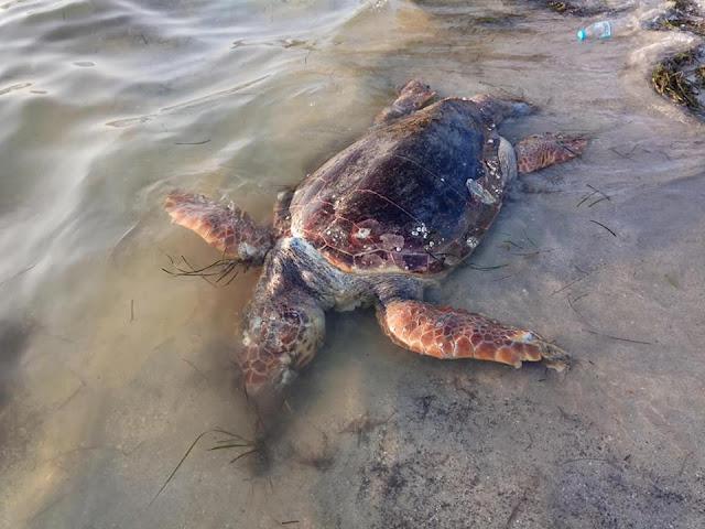Νεκρή χελώνα καρέτα καρέτα στο Δρέπανο Ηγουμενίτσας (+ΦΩΤΟ)