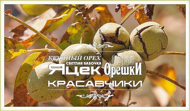 Саженцы грецкого ореха Яцек Украина, 0985674877, 0957351986, Walnuts Broker