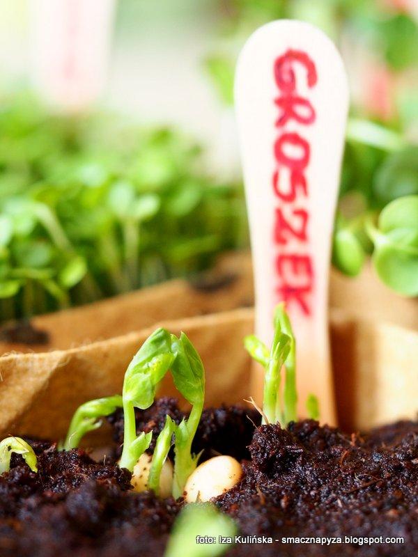 kielki groszku cukrowego, mikrowarzywa, domowa hodowla, uprawa kielkow, domowy ogrodek, witaminy na parapecie