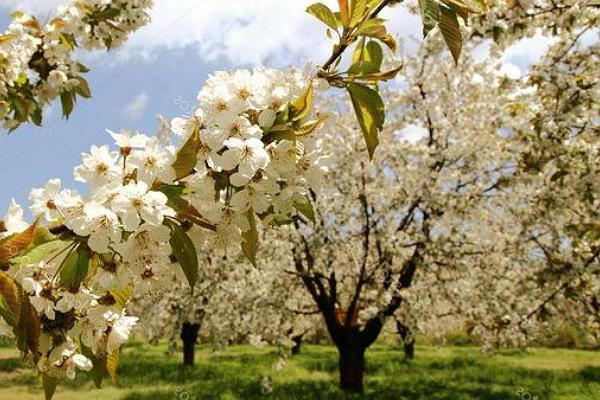 Aquí te dejamos algunas fotos de almendros florecidos para que disfrutes de sus hermosas flores