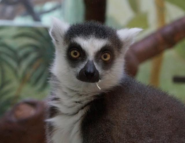 Frühling im Tierpark Gettorf (+ Verlosung). Die Kattas im Affenhaus in Gettorf sind lustig anzusehen.