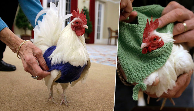 Knitting group is making cosy jumpers for chilly chickens