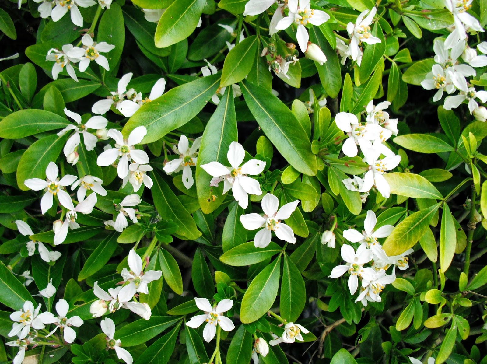 White flowering evergreen shrubs image collections flower fine evergreen shrubs with white flowers composition wedding and perfect white flowering evergreen shrubs vignette images mightylinksfo