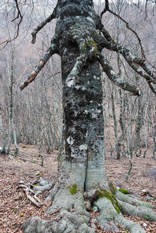 Un bell'esemplare di faggio, in valle Cerchiata
