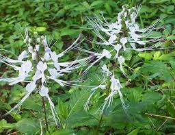 Kumis kucing ialah salah satu tumbuhan yang banyak ditemukan disejumlah wilayah asia t Kumis kucing Kandugan kimia dan faedahnya