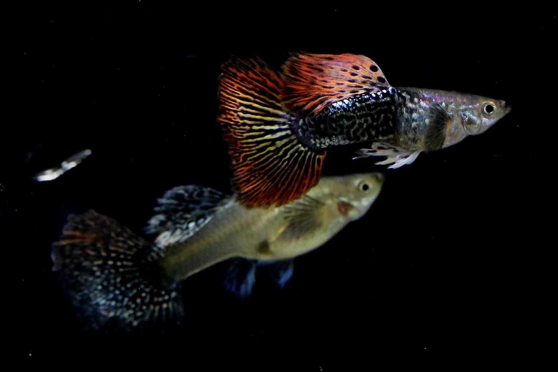 Guppy dragon big ear sale guppy fish indonesia nvjuhfo Images