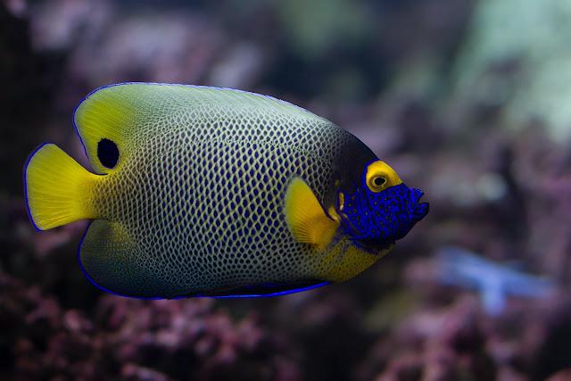 Dunia Ikan Hias - Anglefish Muka Biru
