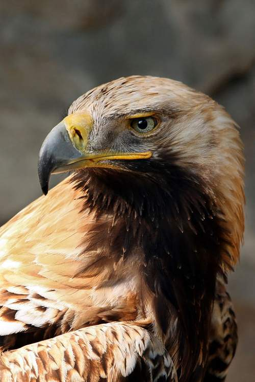 Birds of India - Image of Eastern imperial eagle - Aquila heliaca