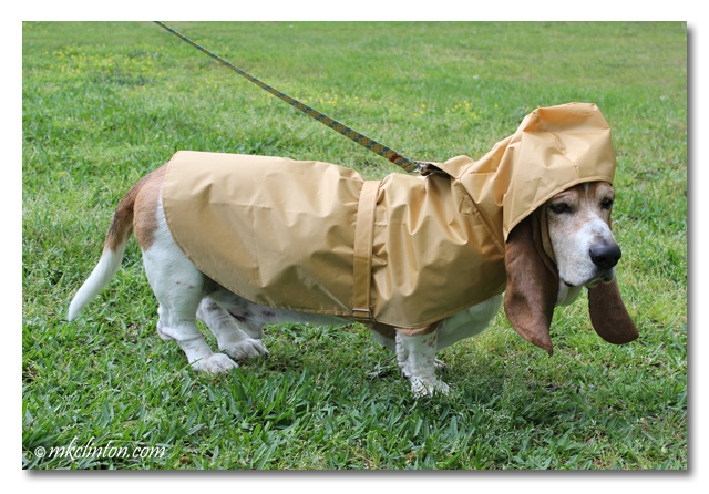 Bentley Basset Hound modeling his PrideBites raincoat