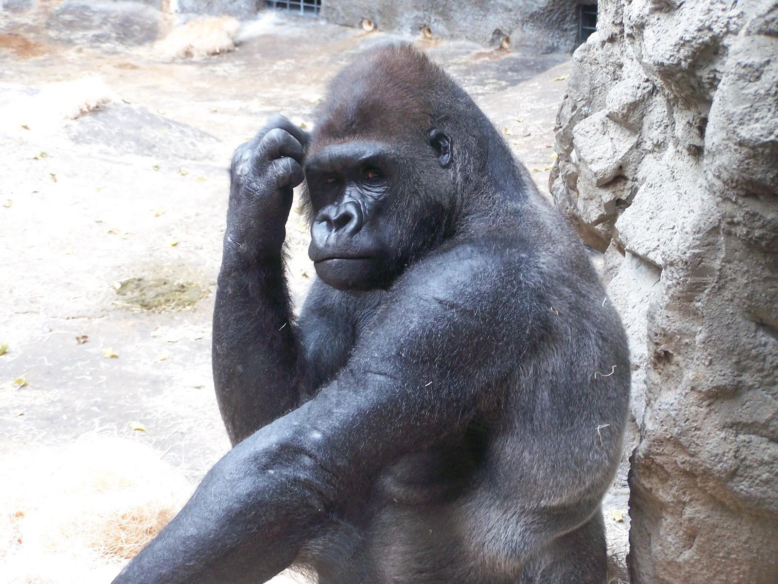Buffalo Zoo S Statement On Silverback Gorilla Buffalo Zoo