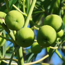 arboles argentinos Mandioca brava Manihot grahamii